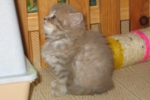 BLH lilac silver tabby spotted