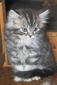 BLH black silver tabby classic